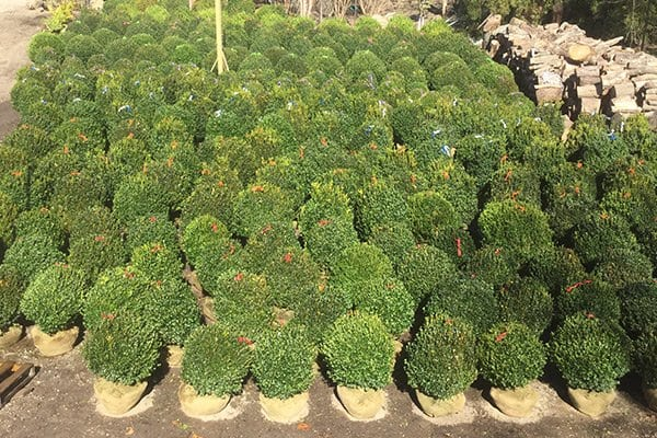 2 Boxwood Trees